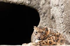 Luipaard tegen de achtergrond van een steenmuur Stock Afbeeldingen