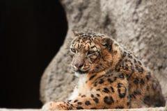 Luipaard tegen de achtergrond van een steenmuur Royalty-vrije Stock Fotografie