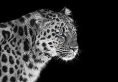 Luipaard in zwart-wit met blauwe ogen stock afbeelding