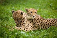 Luipaarden Royalty-vrije Stock Afbeeldingen