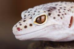 Luipaardgekko royalty-vrije stock afbeelding