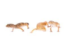 Luipaardgekko op een witte achtergrond stock afbeelding