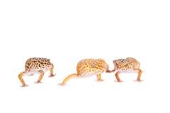 Luipaardgekko op een witte achtergrond stock afbeeldingen