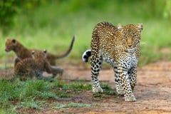 Luipaardmoeder Bahati met het spelen welpen op de achtergrond Royalty-vrije Stock Foto