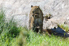 Luipaardmoeder die haar welp in Masai Mara, Kenia dragen Stock Foto's