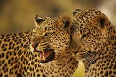 Luipaardmoeder en Welp Stock Afbeelding