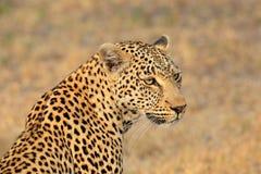 Luipaardportret Stock Afbeeldingen