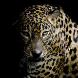 Luipaardportret Stock Foto