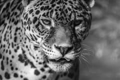 Luipaardportret, gewaagd contrast in zwart-wit royalty-vrije stock afbeeldingen