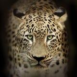 Luipaardportret op zwarte Stock Foto's