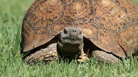 Luipaardschildpad stock footage