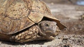 Luipaardschildpad stock videobeelden