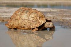 Luipaardschildpad Royalty-vrije Stock Afbeeldingen