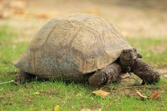 Luipaardschildpad Royalty-vrije Stock Foto's