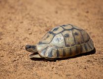 Luipaardschildpad die langzaam langs de grintweg Zuid-Afrika wandelen royalty-vrije stock afbeelding