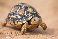 Luipaardschildpad die langzaam op zand met beschermende shell lopen Royalty-vrije Stock Fotografie