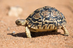 Luipaardschildpad die langzaam op zand met beschermende shell lopen Royalty-vrije Stock Afbeeldingen