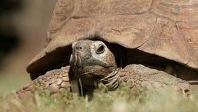 Luipaardschildpad die van zijn shell gluren stock videobeelden