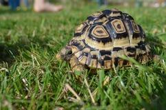 Luipaardschildpad in gras Royalty-vrije Stock Fotografie