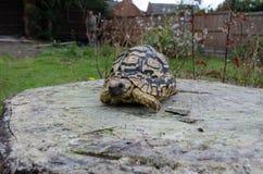 Luipaardschildpad op een Boomstomp Royalty-vrije Stock Fotografie