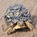 Luipaardschildpad in spoorvoetafdrukken stock afbeelding