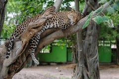 Luipaardslaap op een boom in park Royalty-vrije Stock Foto's