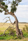 Luipaardstarende blikken in de afstand Stock Foto