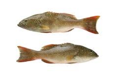 Luipaardtandbaars of Cephalopholis-miniatusvissen van overzeese dieren binnen stock afbeelding