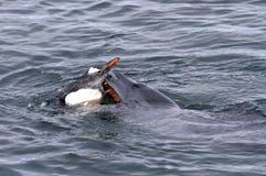 Luipaardverbinding die Gentoo-pinguïn aanvalt Stock Foto's