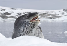 Luipaardverbinding die op een ijsijsschol ligt Stock Foto