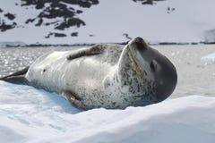Luipaardverbinding die op het ijs tegen de achtergrond van mounta liggen Royalty-vrije Stock Afbeeldingen