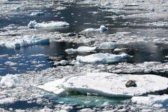 Luipaardverbinding die op kleine ijsberg, Antarctica rusten Stock Foto