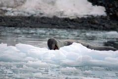 Luipaardverbinding op een ijsberg Royalty-vrije Stock Foto's