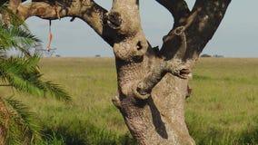 Luipaardwelp die op een boom rusten stock footage