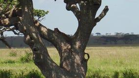 Luipaardwelp op een boom van Serengeti stock footage