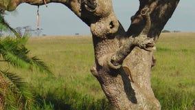 Luipaardwelpen die een boom van Serengeti beklimmen stock video