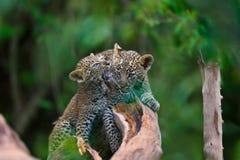 Luipaardwelpen die op een droge boom in Masai Mara, Kenia vechten Royalty-vrije Stock Foto