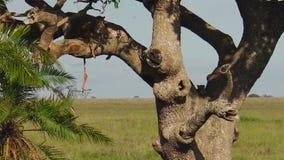 Luipaardwelpen op boom het voeden stock video