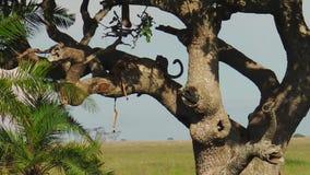 Luipaardwelpen op boom het voeden stock videobeelden