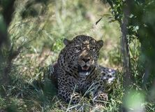Luipaardzitting onder de boom in Masai Mara Game Reserve, Kenia stock foto's