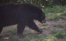 Luizjana Czarny niedźwiedź zdjęcie royalty free