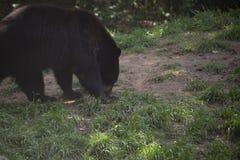 Luizjana Czarny niedźwiedź fotografia stock