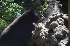 Luizjana Czarny niedźwiedź obraz royalty free