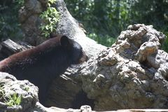 Luizjana Czarny niedźwiedź zdjęcia royalty free