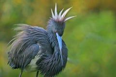 Luizjana heron zdjęcia royalty free