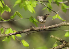 Luizjana Waterthrush Zdjęcia Royalty Free