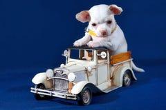 Lujo permitido - perrito blanco de la chihuahua en un coche del juguete Imagen de archivo