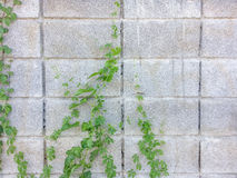 Luke dilapidated cement wall with ivy. Royalty Free Stock Photo