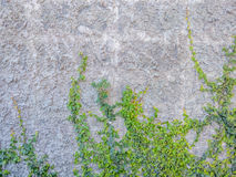 Luke dilapidated cement wall with ivy. Stock Images