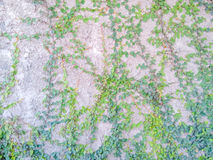 Luke dilapidated cement wall with ivy. Stock Photo
